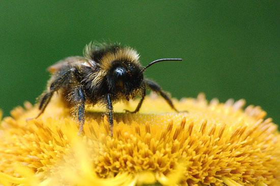 14 gesundheitliche Vorteile und 3 Nebenwirkungen von Bienenpollen