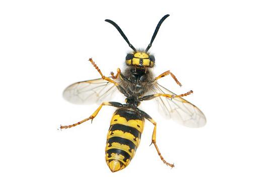 Wie behandelt man Bienen- oder Wespenstich