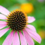 11 erstaunliche Wirkung von Echinacea und 10 Nebenwirkungen