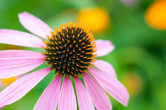 11 erstaunliche gesundheitliche Vorteile von Echinacea