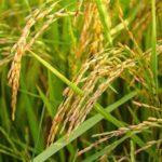 Brauner Reis gegen weißen Reis Ernährung (überraschenden Unterschiede!)