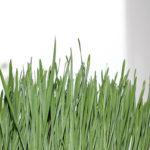 Ist Weizengrass gesund oder ungesund? 13 Ernährungseffekte (echte Erfahrung)