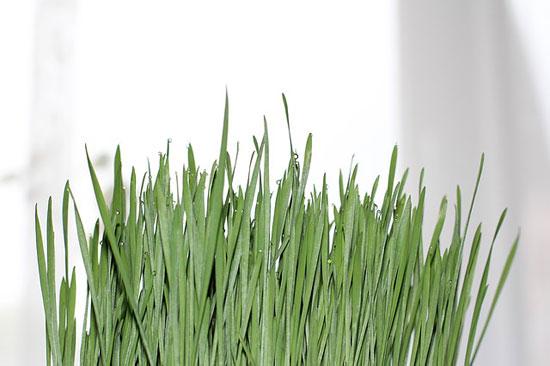 Ist Weizengrass gesund oder ungesund 13 Ernährungseffekte (echte Erfahrung