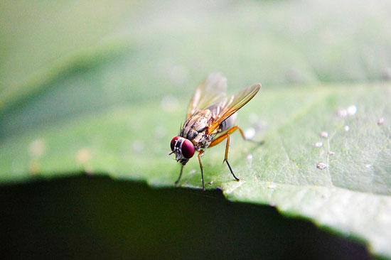 Wie man Fruchtfliegen und Mücken schnell loswird