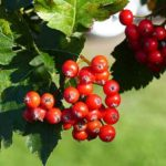 11 erstaunliche gesunde Wirkung von Vogelbeeren (guter Geschmack!)