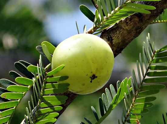 11 gesunde Ernährungswirkung von Amla-Früchten oder -Pulver
