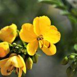 13 erstaunliche gesundheitliche Vorteile der senna pflanze