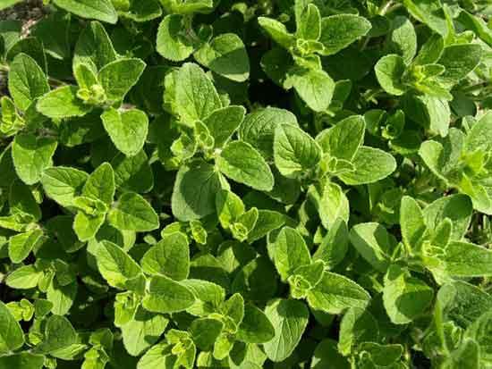 9 wissenschaftlich fundierte, gesunde Heilwirkung von Oregano (Pflanze)