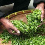 Warum grüner Tee aus China so beliebt? 11 nachgewiesene gesunde Wirkung (Anti-Krebs)