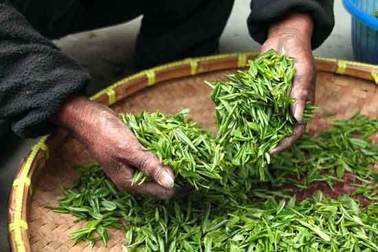 China grüner Tee 11 nachgewiesene gesunde Wirkung