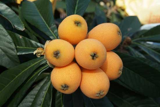 Eriobotrya japonica (Mispel) - warum diese chinesische Frucht 13 Vorteile für die Gesundheit hat.