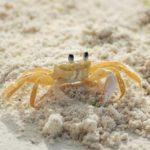 Krabbenfleisch essen: 11 erstaunliche gesunde Wirkung, die Sie bekommen können!