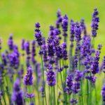 Top 13 Lavendel heilende Wirkung können Sie nicht vernachlässigen (und warum)