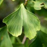 Top 7 nachgewiesene gesunde Wirkung von Ginkgo biloba (inklusive Extrakt)