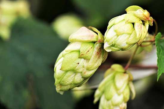 Was ist Hopfen 10 Gesundheitseffekte der Hopfenpflanze, die Sie kennen sollten (inklusive Extrakt)