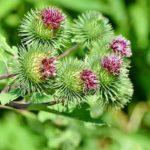 Was ist Klette? 11 gesundheitliche Wirkung der Klettenwurzel (Pflanze)