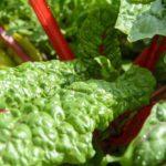 Was ist Mangold? 11 ernährungsphysiologische Wirkung von Mangoldgemüse (schmeckt gut!)