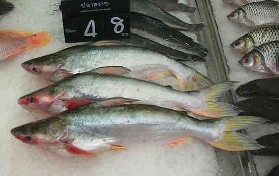 Was ist Swai-Fisch, gesund oder ungesund