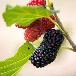 Was sind Maulbeeren? (11 gesunde Ernährungswirkung von Maulbeeren)