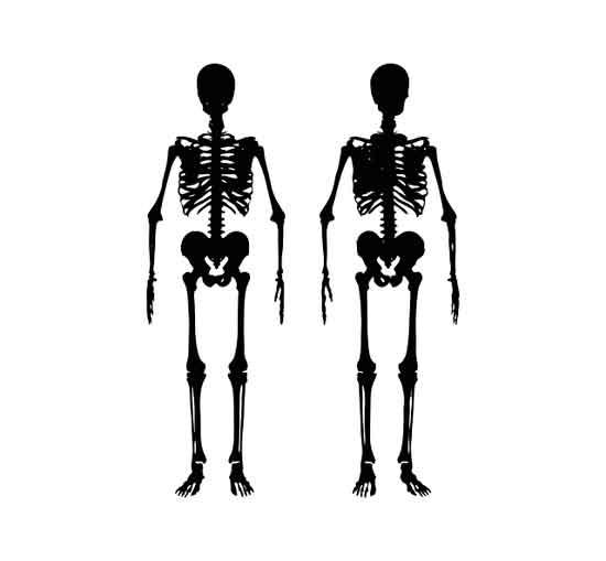 Einführung des Skelettsystems: Anatomie und Funktion