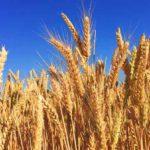 Gerste: gesunde Ernährungswirkung und Nebenwirkungen