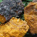 Chaga Pilz, Erfahrungen, 4 Wirkung und Nebenwirkungen!