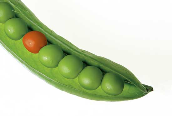 Grüne Erbsen 11 erstaunliche gesunde Ernährungseffekt