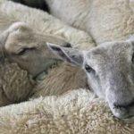 Top 10 gesunde Ernährungseffekt von Lammfleisch