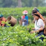 Assam-Tee: Ernährung, Nutzen und Vorsichtsmaßnahmen