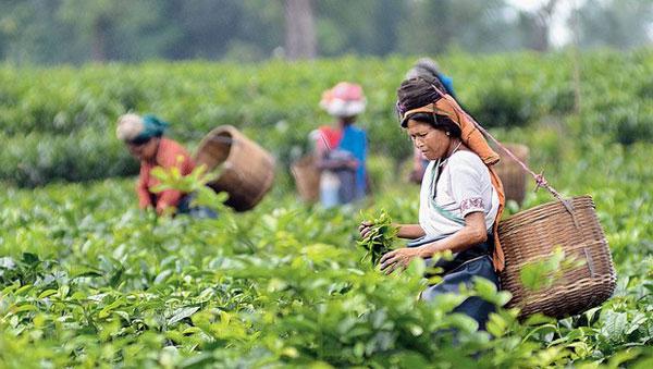 Assam-Tee Ernährung, Nutzen und Vorsichtsmaßnahmen