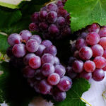 Sind Trauben gut für Ihre Gesundheit?